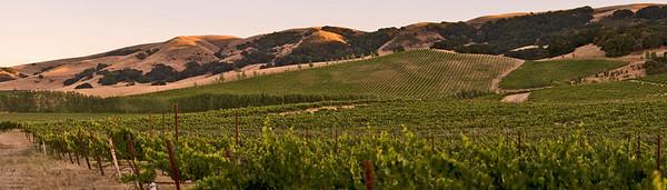 Cline Vineyard Panorama