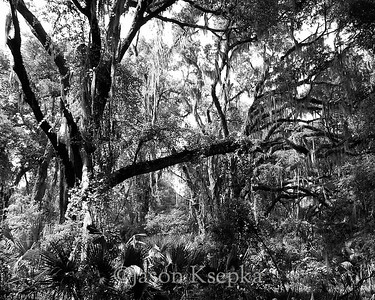 Forest covered in Spanish Moss; Alachua County, Payne's Prairie State Park, Micanopy, Florida  2006-03-28  #7