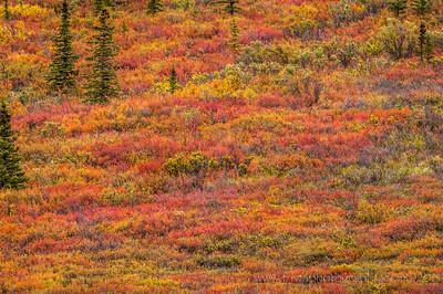 Autumn Blankets Denali Denali National Park Alaska © 2014