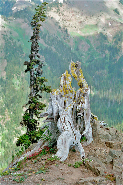 The timeless wait.....-Old sentinel snag and conifer, Hurricane Ridge, Olympic National Park, State of Washington.