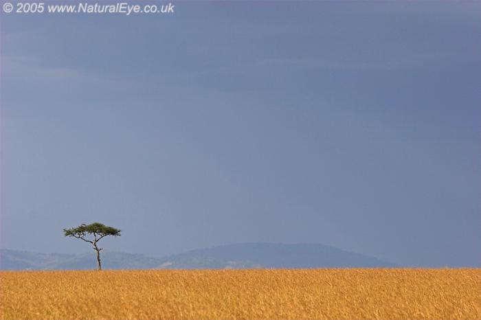 Lone Acacia tree, Maasai Mara, Kenya