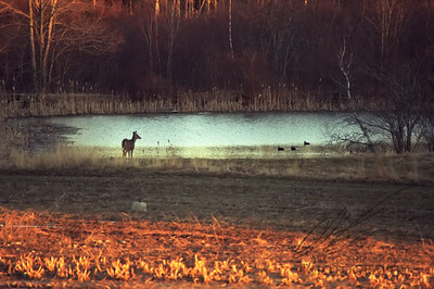 DOE WATCHING DUCKS ON POND AT DUSK
