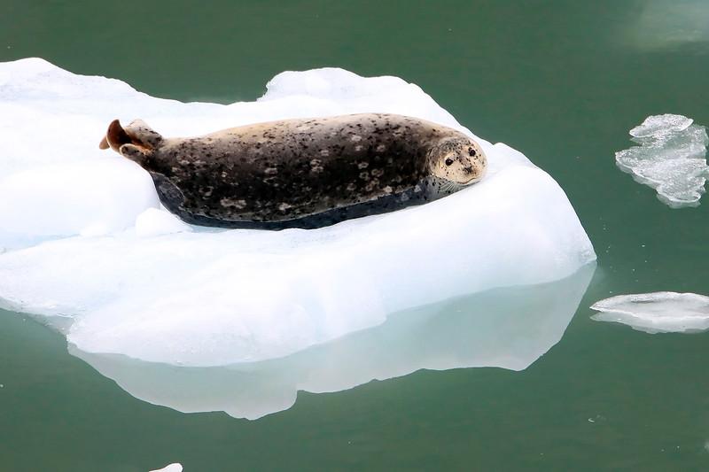Harbor Seal - Tracy Arm, Alaska