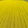 Canola Crop from Phantom 2