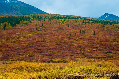 Explosion of Fall Colors Denali National Park Alaska © 2015  TNWA Photography / Debbie Tubridy