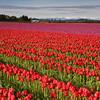 Tulips_04_16_10_0002