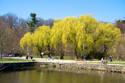 Willows by the Pond
