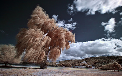 Weeping Willow Infrared