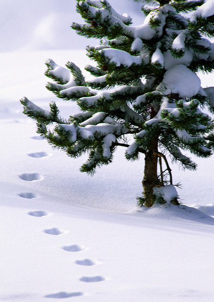 Snow Tracks and Pine