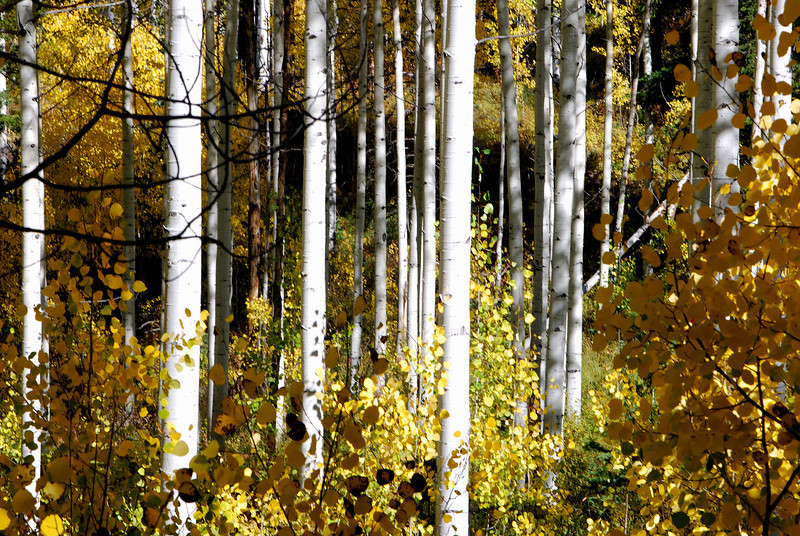 Aspens on the Alpine Loop near Provo Utah. October 2008.