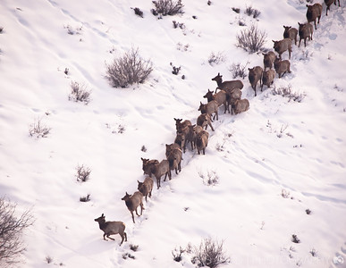 Wasatch Elk from the Air