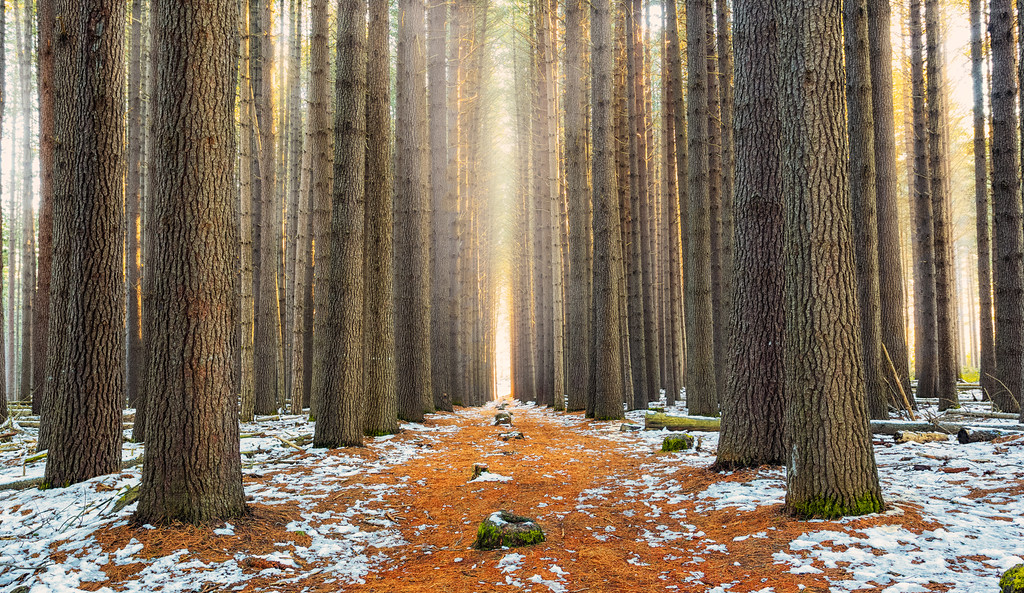 Sugar Pines - NSW, Australia