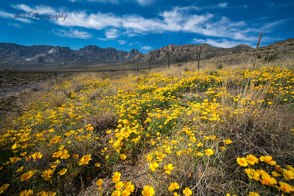 I was fortunate enough to catch the puppies blooming in the Organ Mtn National Monument, just out side Las Cruces NM.