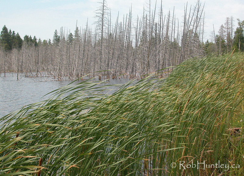 Dead trees and blowing bullrushes adjacent to a swamp in Eastern Ontario. © Rob Huntley