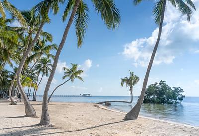 Leaning Palm Trees - Islamorada, FL