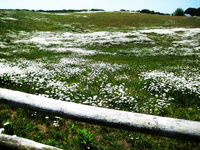 Daisy Fields