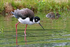 """Hawaiian Stilt Wading"" - Hawaii"
