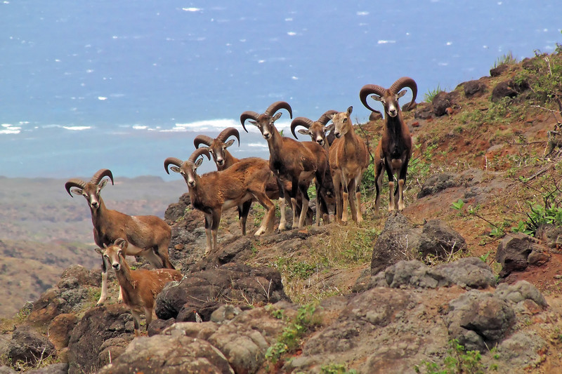 Rare shot of a group of Mouflon Rams with Pacifc Ocean background.   Island of Lana'i, Hawaii.