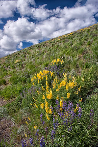 Wild Lupines in Colorado Canyon