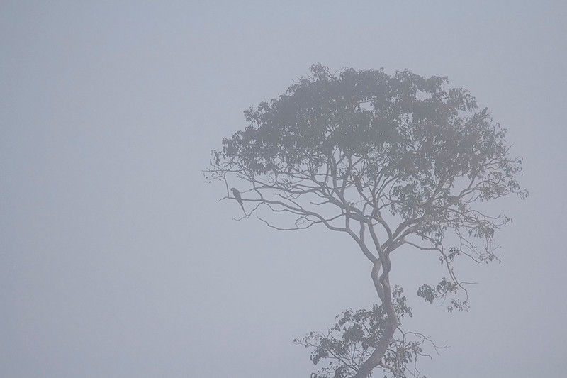 Macaw silhouette in the mist<br /> Tambopata Region, Amazon, Peru