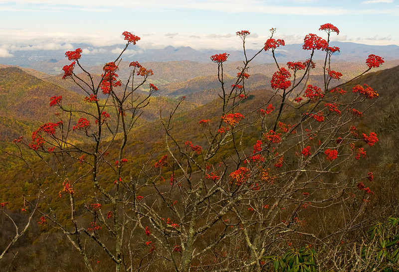 Mountain Ash from the Craggy Gardens overlook off the Blue Ridge Parkway