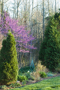 Perennial Bed #2 with Cryptomeria and Thuja