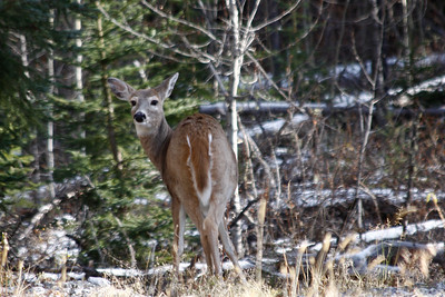 Deer in Banff National Park.  October, 2011.