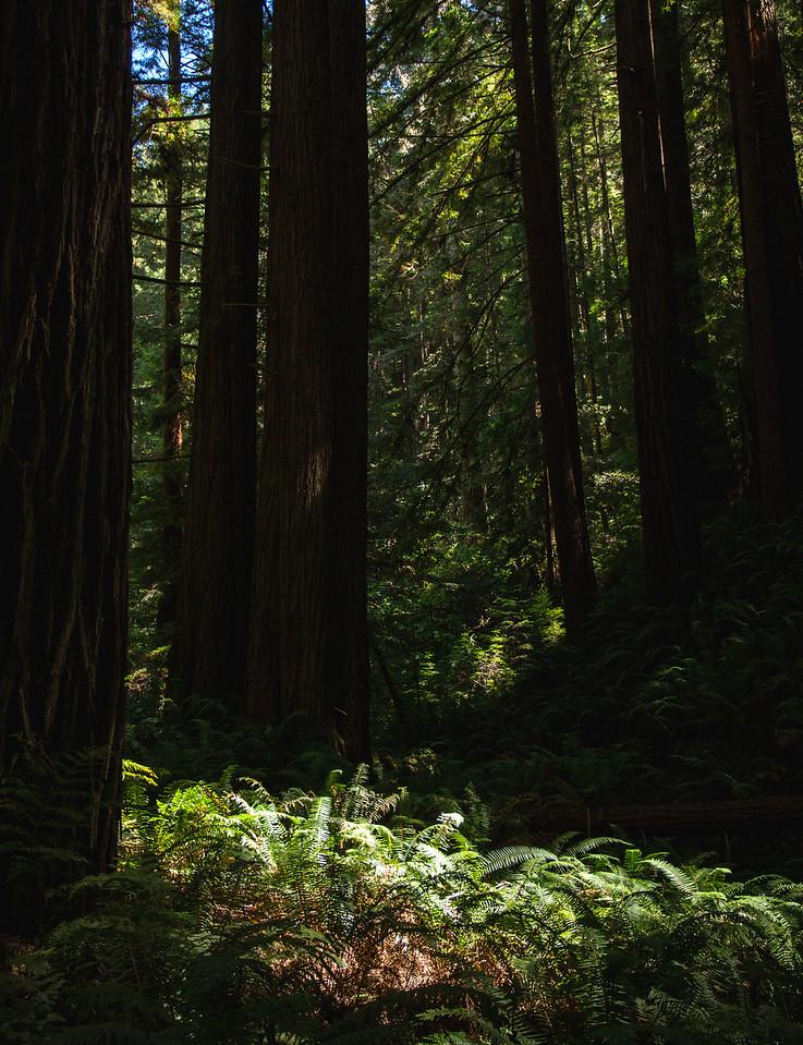 California coastal redwood grove
