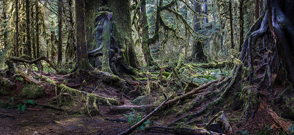 The Hoh ~ Olympic National Park; Hoh Rain Forest.