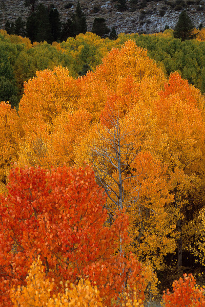 Fall color, Bishop Creek, California, Landscape, Owens Valley Copyright Chris Collard - All rights reserved