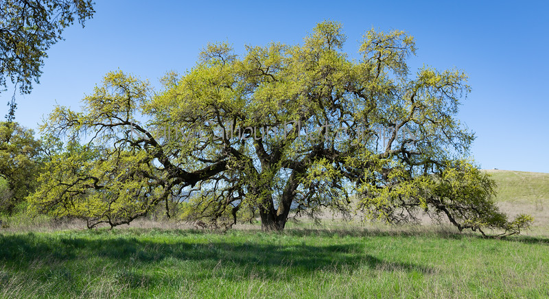 Bruces Oak Tree 2-12-4161