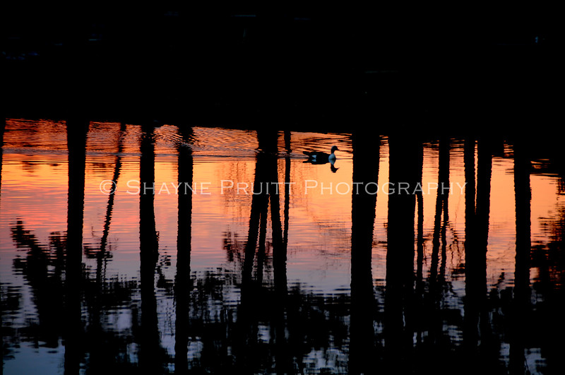 A lone duck makes its way among the reflected trees at sunset