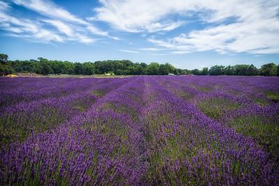 Lavender Farm in East Marion Long Island