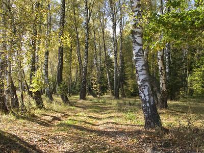 Birch grove in september