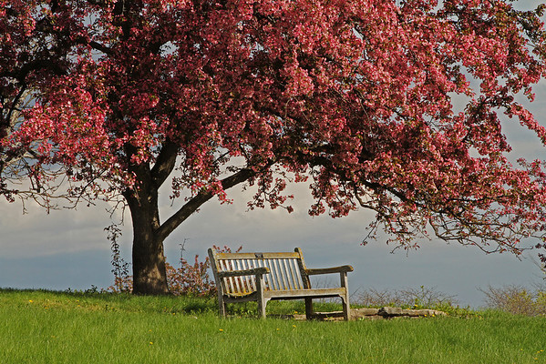 Crab Apple Tree And Bench