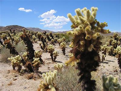 Cholla Cactus Tree Garden, Joshua Tree National Park, USA.
