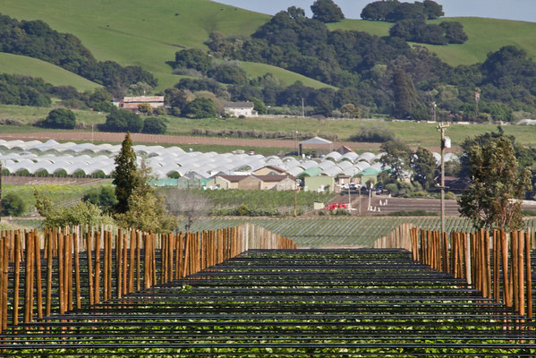 New Plantings on Farm in Watsonville, CA Long Perspective