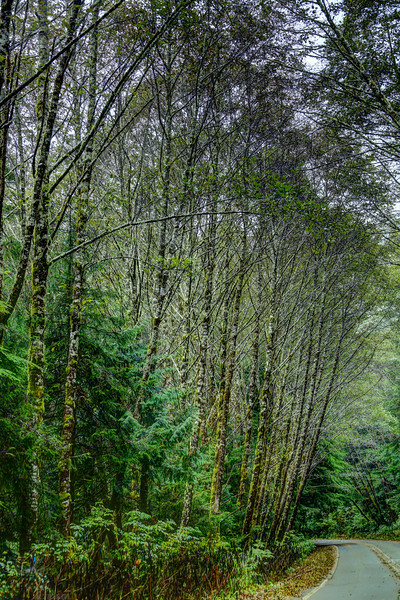 Moss covered trees in the Tillamook Forrest south of Cannon Beach Oregon.