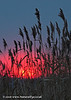 Sunrise through the rushes, Great Altcar, England