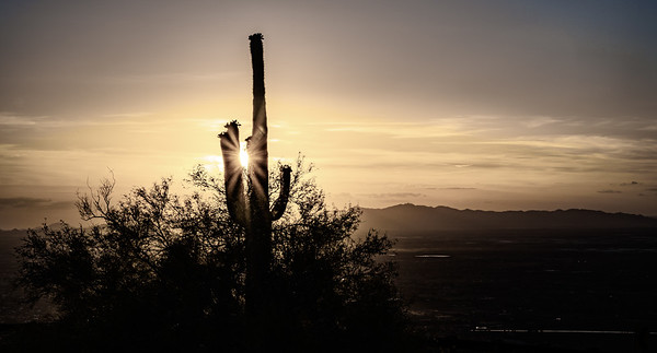 Saguaro at Sunset in Grey