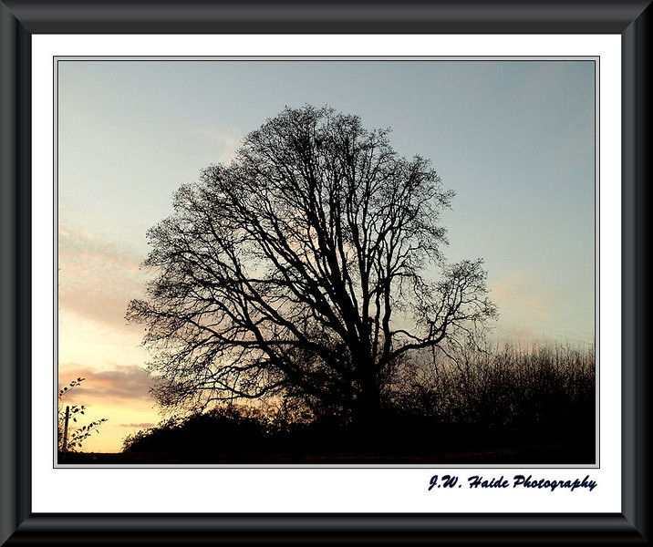 Oak at Sunset near Orchard Park in East Hillsboro, Oregon