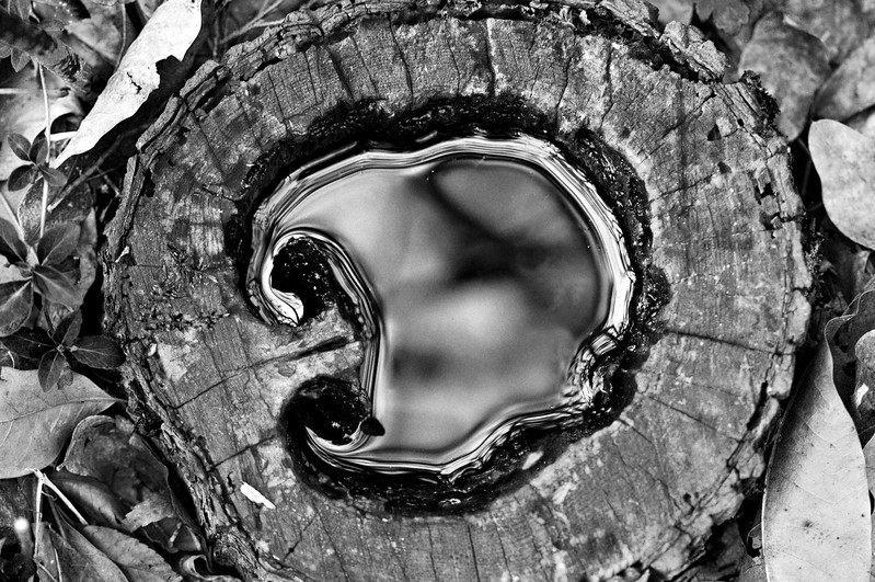 121 Shaw Garden 4-20-2008 - Water In Tree Stump 2 of 2 b&w