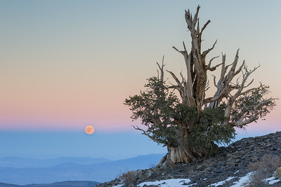 Moon and Bristlecone pine - Ancient Bristle Cone Pine Forest, Lone Pine, CA, USA