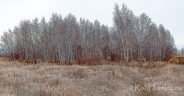 Birch Woods at the Edge of Town.  © Rob Huntley 2011