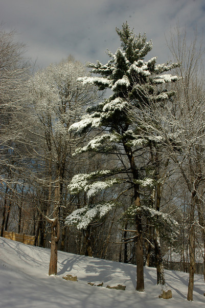 Larch and Pine in WInter