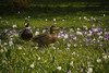 Mallard pair among Beacon Hill Crocus