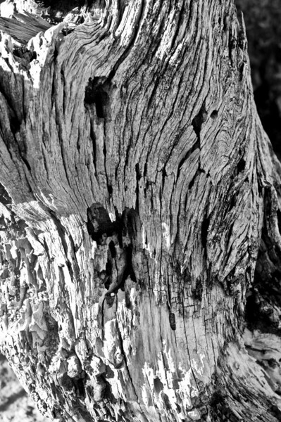 This old log reminded me of the famous painting.  The Scream!