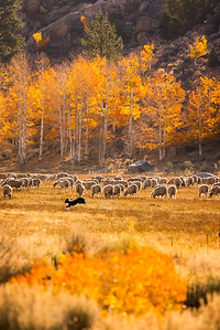 Sheep and Fall Colors, Eastern Sierras