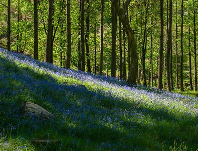 Stonethwaite Blue Bells