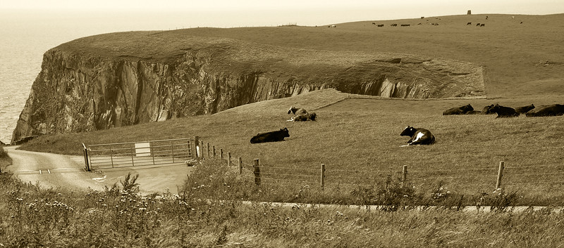 Mull of Galloway landscape, cows lying down